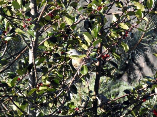 lijster-in-hulstboom