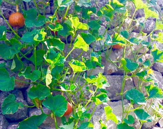 Oranje pompoenen over de muur