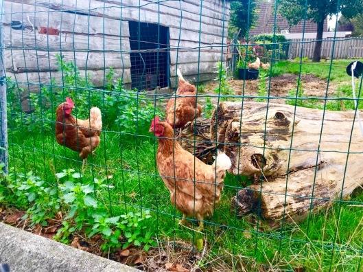 Kippen in de nieuwbouwwijk