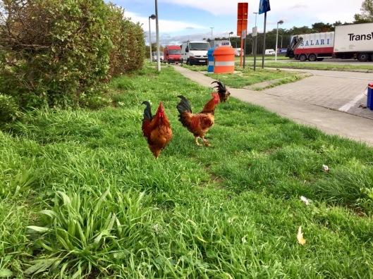 Kippen op de parking Belgie